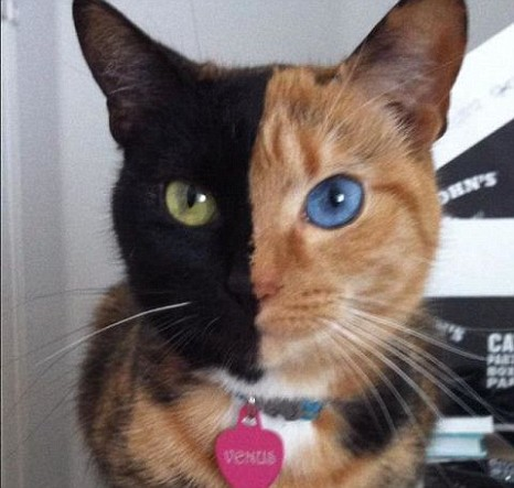 Twoface_chimera_cat