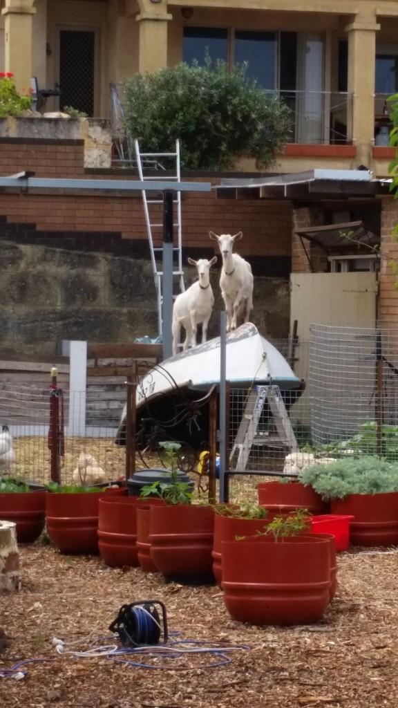 14-goat-on-boat